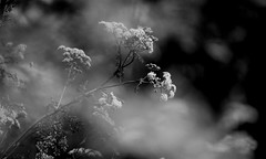 Clouds (GillK2012) Tags: nature wildflower umbellifer anthriscussylvestris cowparsley clouds mist impression blackandwhite monochrome bw umbelliferwednesday dof bokeh