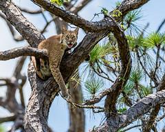 Bobcat - Corkscrew Swamp_ (dbking2162) Tags: corkscrew swamp florida wildlife nature nationalgeographic trees bobcat corkscrewswamp animal cat beautiful explore