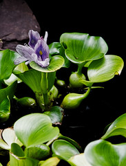 water hyacinth (avflinsch) Tags: ifttt 500px pond flower water hyacinth flora bladder rock green purple stripes glossy floating