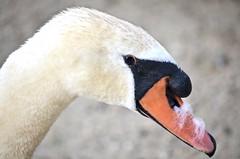 Greenwich, CT (photobug56) Tags: greenwich connecticut newengland swan