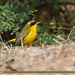 Golden Bush-robin (Tarsiger chrysaeus)