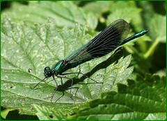Male Banded Demoiselle (glostopcat) Tags: bandeddemoiselledamselfly damselfly insect invertebrate ordonata june macro glos summer riversevern tewkesbury