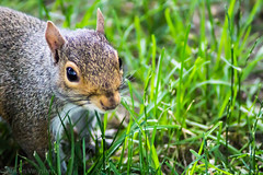 Squirrel (avaughan585) Tags: squirrel animals animal wildlife grass green red grey gray wild centralpark newyork nyc ny