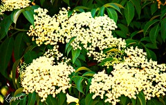 Elderberry Stars (Lynn English) Tags: elderberryblossoms white lace stars