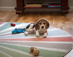 surrounded by toys (cathy sly) Tags: day2 july18 baker beagle puppy dog pet