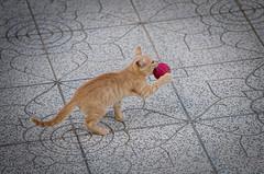 33246 - Giulio (Diego Rosato) Tags: giulio gatto gattino cat kitten nikon d700 70200mm sigma rawtherapee