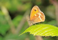 Gatekeeper butterfly (timz501) Tags: gatekeeper pyroniatithonus butterfly jersey