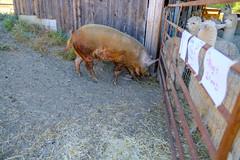 DSCF8487.jpg (RHMImages) Tags: xt2 pig llama fuji nevadacounty lovecreekanimalsanctuary farm ranch grassvalley fujifilm nevadacountygrown