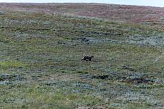 Silberdachs (sgplewka) Tags: usa 2017 windcavenp animals tiere urlaub custer southdakota us