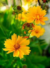 Yellow daisies (Raoul Pop) Tags: garden summer color focusstack plants home daisy sunlight yellow outdoors evening