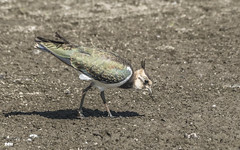 Getting down and dirty (davidrhall1234) Tags: northernlapwingvanellusvanellus lapwing birds bird birdsofbritain wildlife world wader wetland water beak mud rspbfairburnings fairburnings rspb countryside conservation birdreserve reserve naturereserve nature nikon outdoors feather