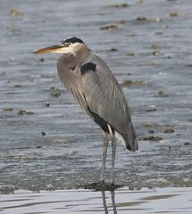 Great Blue Heron (Ardea herodias) 01-10-2018 Salisbury Landfill - Naylor Mill Rd. Pond, Wicomico Co. MD 1 (Birder20714) Tags: birds maryland herons ardeidae ardea herodias mbpready