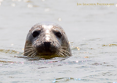 Wild Grey Seals at Blakeney Point in Norfolk. Thanks to Temple Seal Tours for taking us out. (Jon Lelacheur Photography) Tags: seal sea wildlife wildanimals wild water nature natural canon canon7dmk2 sigma jonathanlelacheurphotography