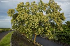 2018-07-06 光臘樹 (snailss (蝸牛)) Tags: 宜蘭市 獨角仙 光臘樹 蜜源植物 繁殖期 夏天 教材 季節限定
