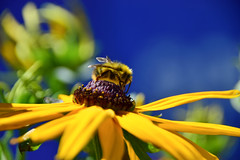 Complements (James_D_Images) Tags: bee pollinator insect yellow black flower blue background bokeh closeup backlit nature summer colour bright