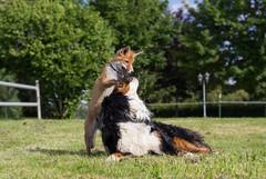 Zwei dicke Freunde (roland_lehnhardt) Tags: canon eos60d ef50mmf18ii tiere animals fuchs fox hunde bernersennenhund bernesemountaindog natur tierportrait