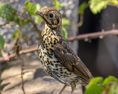 Summer Songs #3 (Martin-Fused) Tags: animal bird england garden home inmybackyard light local nature outdoors shade somerset song songthrush spotted summer turdusphilomelos uk