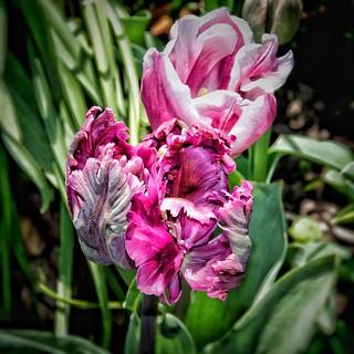 Toronto Ontario ~ Canada ~ Edwards Botanical Gardens ~  Fading  Red Tulip