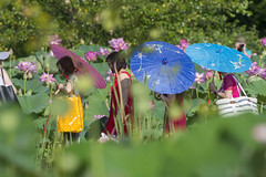 Picture parasols (Tim Brown's Pictures) Tags: washington dc kenilworthaquaticgardens wetlands flowers marsh lotus lotusblossom lotusflower water visitors parasols unitedstates