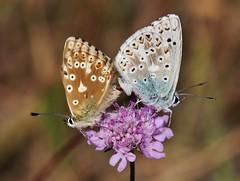 2 Bläulinge (Hugo von Schreck) Tags: hugovonschreck butterfly schmetterling bläuling macro makro insect insekt canoneos5dsr greatphotographers tamron28300mmf3563divcpzda010