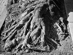 Chthonic Memories (Timothy Lewis Jr.) Tags: analoguefilm blackandwhite blackandwhitefilm bw tree trix olympusxa