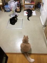 Cat Pecking Order (sjrankin) Tags: 18july2018 edited animal cat bonkers norio tigger floor kitchen food kitahiroshima hokkaido japan