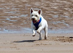 Freedom (Artybee) Tags: samson sunny fun beach sea splash westie westitude west highland white do lincolnshire mablethorpe