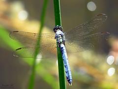 Eastern Pondhawk IMG_6677 (Jennz World) Tags: ©jennifermlivick mountpleasantnaturepark mountpleasant mtpleasant ontario canada dragonfly damselfly