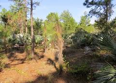 Pinus elliottii --  Slash Pine Tree 7308 (Tangled Bank) Tags: yamato coastal scrub forest remnant palm beach county florida wild nature natural park area preserve plant flora botany pinus elliottii slash pine tree 7308