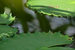 Grüne Inseln (Sockenhummel) Tags: botanischergarten botanischergartenberlin blatt leave teich seerosen seerosenblatt viktoriahaus natur grün fuji xt10