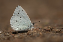 Schluuurp (music_man800) Tags: celastrina argiolus holly blue butterfly butterflies insect lepidoptera wildlife nature natural outdoors flora fauna uk united kingdom hockley woods essex walk forest woodland path damp minerals puddling puddle proboscis canon 700d adobe lightroom creative cloud edit photography sigma 150mm macro lens prime sharp low level floor ground salts underwing underside pretty beautiful life papeur