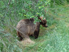 DSC07532 (jrucker94) Tags: alaska katmai katmainationalpark nationalpark bear bears grizzly grizzlybear brooksriver nature outdoors