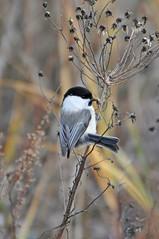 Буроголовая гаичка,или пухляк. (tam6524) Tags: буроголоваягаичка parusmontanus paridae willowtit bird forest nature animal nutrition