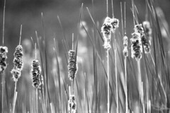 Seeding Cattails (pmvarsa) Tags: summer 2018 june analog bw blackandwhite film 135 ilford ilfordfp4plus fp4 fp4plus 125iso nikonsupercoolscan9000ed nikon coolscan manfrotto sekonic cans2s pentax spotmatic pentaxspotmatic classic camera takumar 300mm telephoto outdoor neighbourhood cattail wetland swamp water seed bokeh waterloo ontario canada