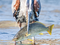 Great Blue heron catches a whopper! (cbjphoto) Tags: avian blue great bolsachica reserve photography heron ecological bird carljackson