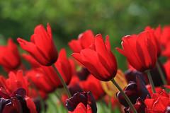 True Love (preze) Tags: tulpen tulips tulipan blumen flower pflanze plant blüte blossom flora blütenblätter petals colorful colourful sunny sonnig freundlich heiter efm55200 blumenbeet flowerbed tulpe blume love liebe red rot bokeh spring frühling britzgarden britzergarten