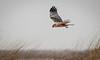 Western Marsh Harrier, Bruine Kiekendief (Paul van Agthoven) Tags: birds explore nature canon zoom holland bokeh dof birding