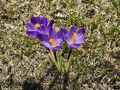 Budding crocuses in Ottawa, Ontario (Ullysses) Tags: crocuses springcrocuses ottawa ontario canada spring printemps crocussativus