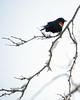 Redwing Blackbird (Mark...L) Tags: snow winter perching bird redwingblackbird