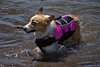 Doggie Life Vest (Scott 97006) Tags: dog petite retriever water wet river stick vest cute