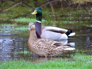 Mallard Ducks - Male and Female