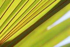 Verso d'une Feuille de Palmier éventail du jardin (Christian Chene Tahiti) Tags: canon 6d paea tahiti palmieréventail flore jardin macro nature frenchpolynesia polynésie vert orange jaune rouge pf polynésiefrançaise polynesia extérieur plante feuillage motif motiforganique tige palme palmier arbre tree végétal foliage feuille leaf
