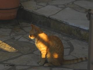 Blonde cat in Olympiaki Akti resort in Greece