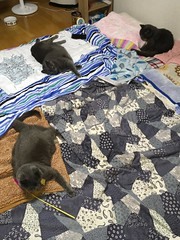 Collection of Gray Cats (sjrankin) Tags: 4july2018 edited animal cat bonkers argent yuba futon bedroom blanket kitahiroshima hokkaido japan