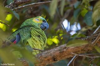 Papagaio-verdadeiro