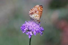 Living together... (janrs7) Tags: symbiosis scabiosa smallpearlborderedfritiallary butterfly smoothbokeh bokeh tamron70300mmmacro macro closeup brunflekketperlemorvinge