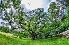 The Bedford Oak (JMS2) Tags: nature tree ancient historic bedford oaktree preservation westchester