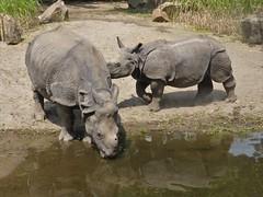 Namaste and Keruna, Blijdorp (Alta alatis patent) Tags: blijdorp rhinocerosunicornis pantserneushoorn keruna drinking thirsty