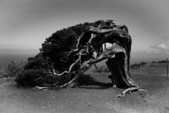 """El Hierro - """"El Sabinar"""" (B&W) (Gabriel Sierra Somovilla) Tags: forest tree bw blackandwhite background landscape outside wood ocean sea desert spain canary islands elhierro 20mm digital old flora garden cof034dmnq cof034mari cof34patr cof034biz cof034chri cof034dero"""