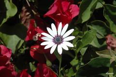 1-DSC_0020 (adamsshawn390) Tags: african daisy flowerwatcher